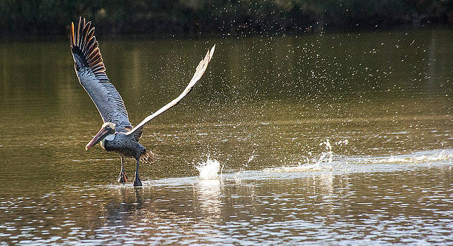 Pelican airborne by Bill LITTELL
