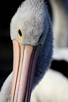 Pelican at Port. by Ian  Ramsay