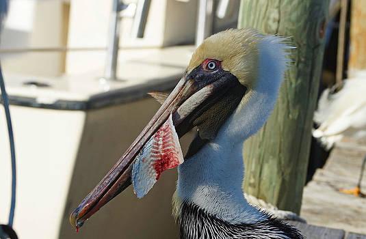 Carmen Del Valle - Pelican Bait 1