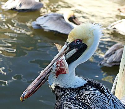 Pelican Bait 3 by Carmen Del Valle