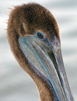 Pelican Blue by Michael Davis
