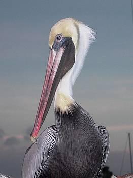 Pelican by Charlotte Craig