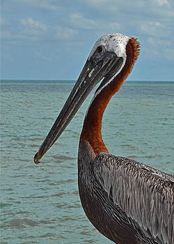Mae Wertz - Pelican