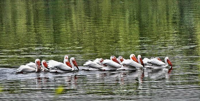 Pelican Dance by Rebecca Adams
