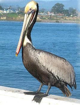 Pelican by Danielle Allard