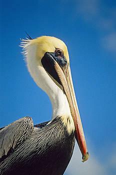 Dennis Cox - Pelican