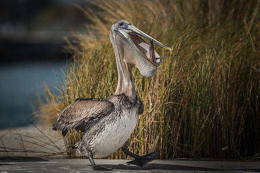 Pelican Dinner Dance by Andrea  OConnell