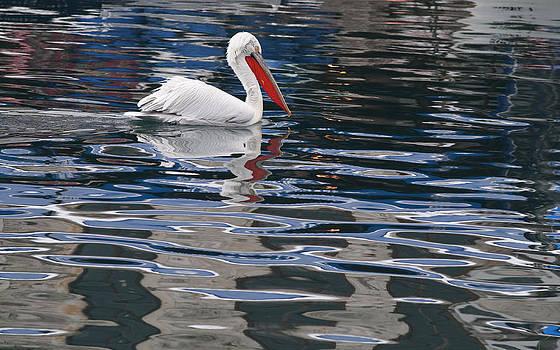 Pelican floating in Phokai by Atalay Karacaorenli