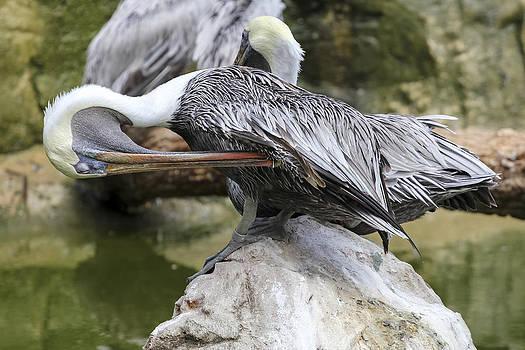 Pelican Florida by Jianghui Zhang