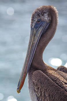 Pelican by Floyd Raymer