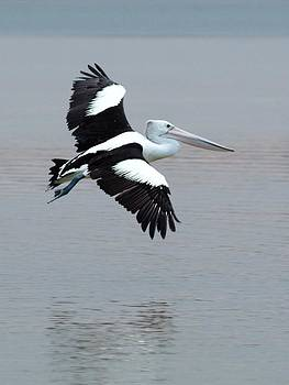 Pelican Flyby by Douglas Jones