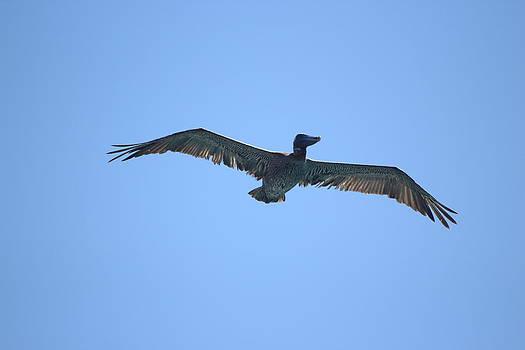 Pelican by George Ferreira