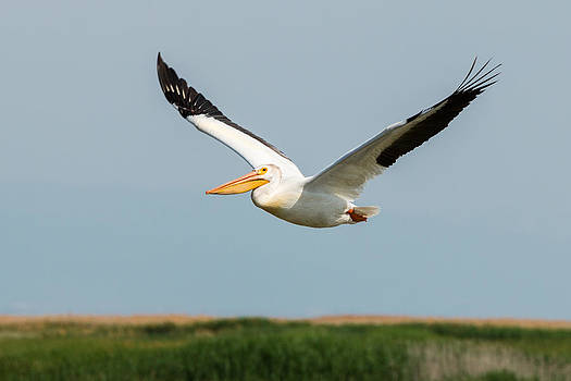 JOHN FERRANTE - Pelican in Flight