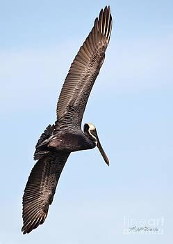 Michelle Constantine - Pelican in Flight
