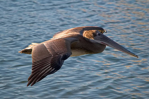 Pelican in flight by Robert Bascelli