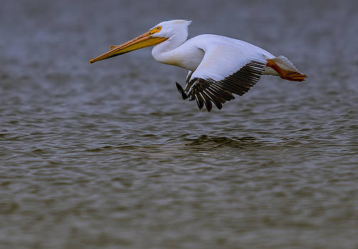 Pelican in flight by Steve Thompson