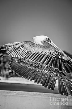 Ian Monk - Pelican in Flight White Street Pier Key West - Black and White