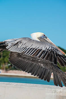 Ian Monk - Pelican in Flight White Street Pier Key West