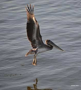 Pelican  by Jill Baum
