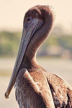 Pelican by Kristy Ollis