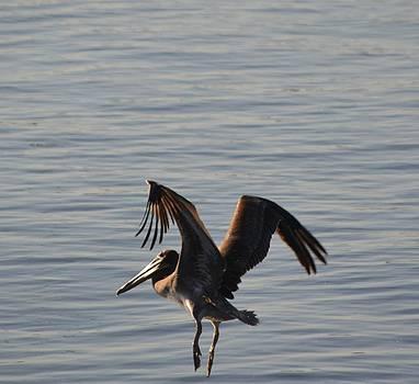 Pelican Landing by Jill Baum