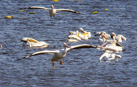 Pelican landing by Jill Bell