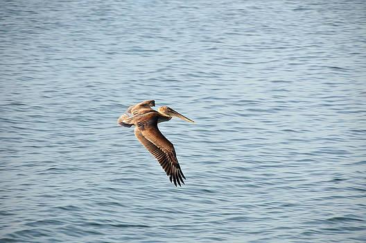 Pelican by Paul Van Baardwijk