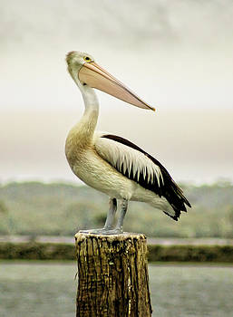 Holly Kempe - Pelican Poise