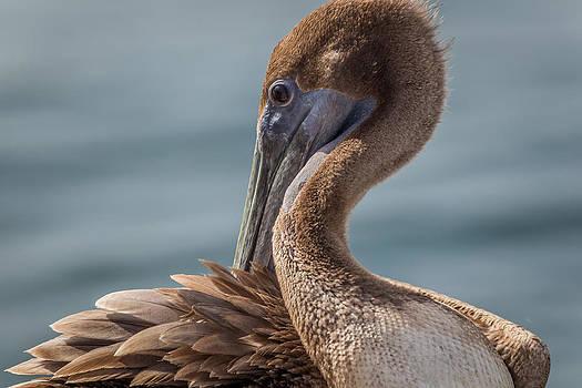 Pelican Preening by Andrea  OConnell