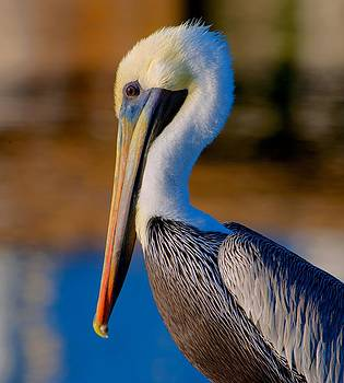Pelican Profile by Jay Campbell