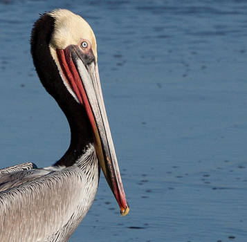 John Daly - Pelican Profile