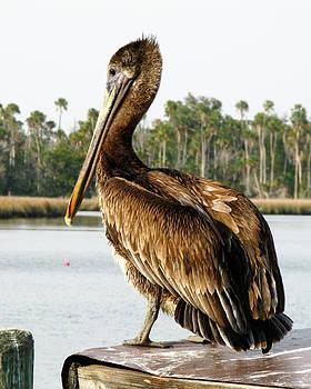 Randi Kuhne - Pelican