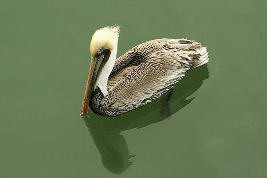 Pelican Reflection by Bob and Jan Shriner