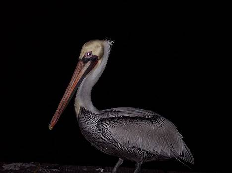 Pelican by Richard Brown