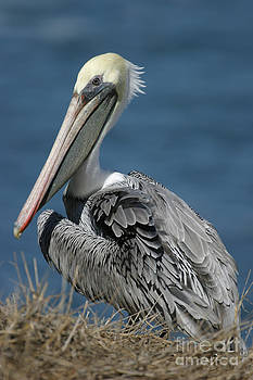 Pelican by Russell Christie