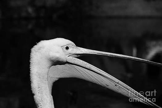 Pelican by Sara  Meijer