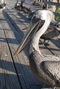 Catherine Kurchinski - Pelican Watch