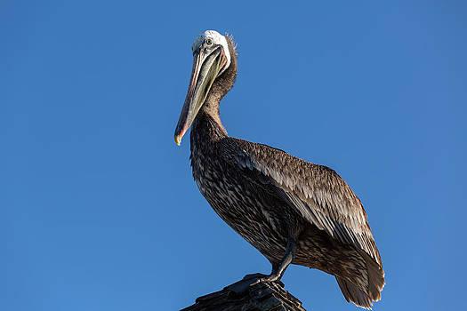 John Daly - Pelican Watch