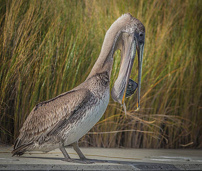 Pelican with Fish Dinner by Andrea  OConnell