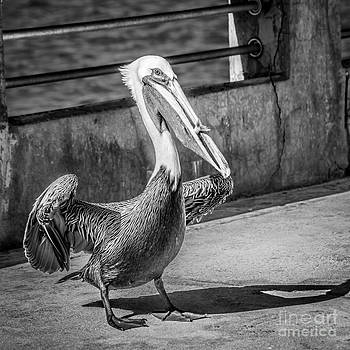 Ian Monk - Pelican with Fish White Street Pier Key West - Square - Black and White