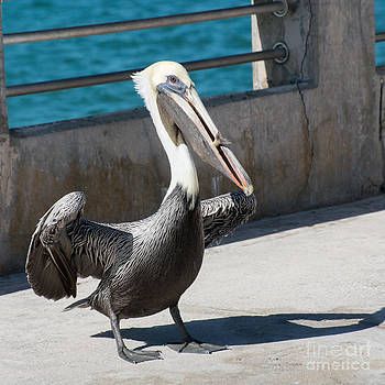 Ian Monk - Pelican with Fish White Street Pier Key West - Square