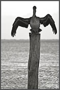 Agus Aldalur - Pelicano