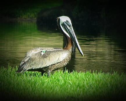 MTBobbins Photography - Pelicans are Free