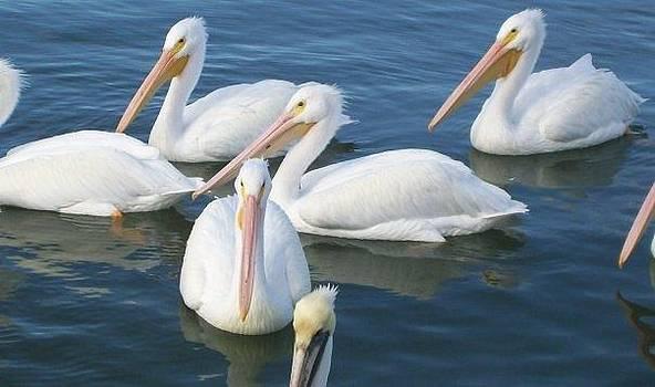 Pelicans by Diana Garcia