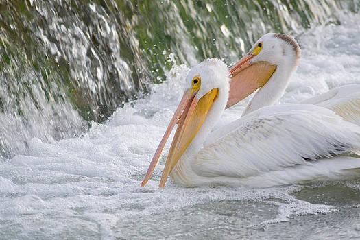 Dwayne Schnell - Pelicans