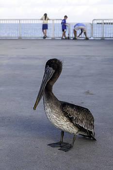 Lynn Palmer - Pelican