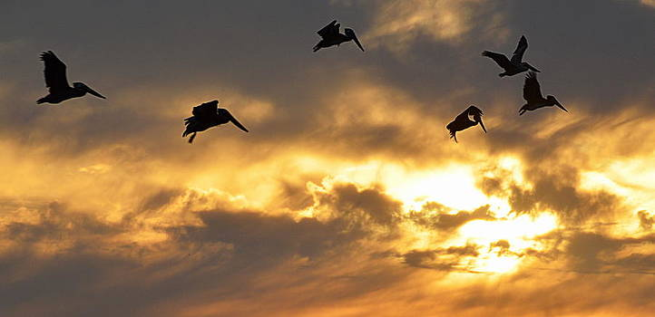 Pelicans Flight Into the Sunset by AJ  Schibig