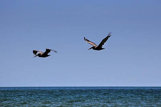 Pelicans by George Ferreira