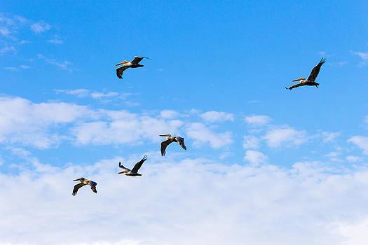 Pelicans in flight by G Matthew Laughton