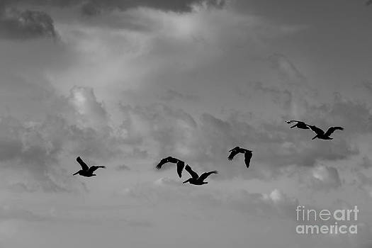 Pelicans in flight by Russell Christie